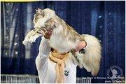 мейн куны - Питомник мейн кунов Lordcoon*LT - продаются котята .