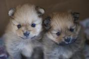Очаровательные щенки шпица