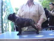 Очаровательные щенки французского бульдога