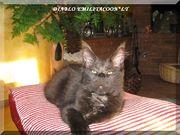 котята мейн кун -питомник  EMILITACOON*LT